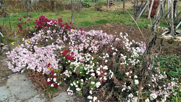剪定ばさみで庭の菊を切る